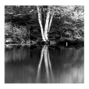 6 Birch Trees - Black and White photos of Maine